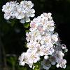 Hawthorn flowers (best viewed on black).
