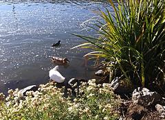 Duck - duck - coot