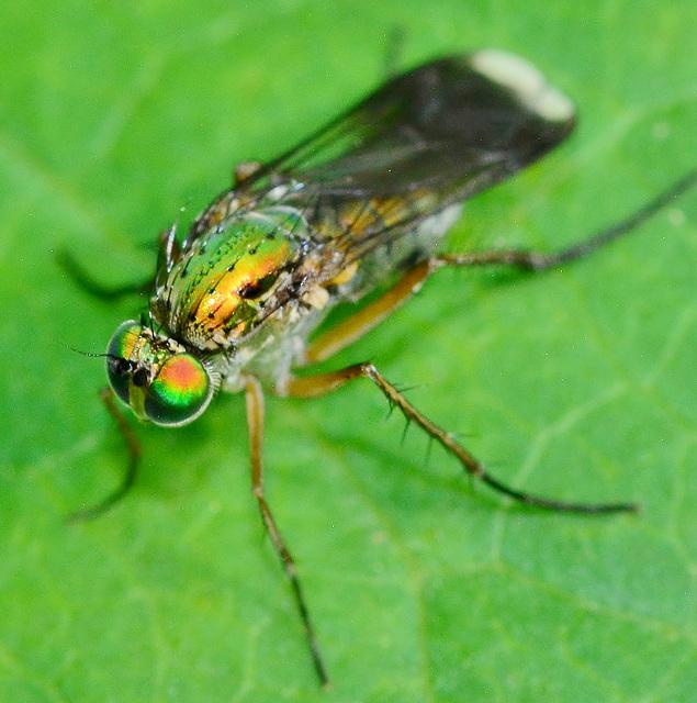 Long Legged Fly, female. Poecilobothrus nobilitatus