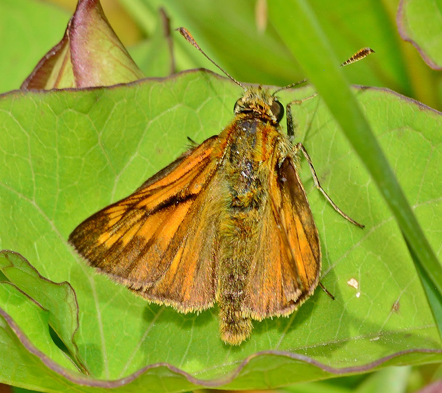 Large Skipper,Male. Ochlodes venatus