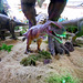 DSCN2785 - Tyrannosaurus rex, Theropoda