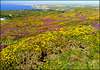 St Agnes Beacon, Heather and Gorse