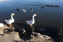 Swan geese: bosses of the lake