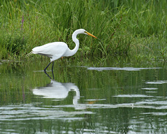 49/50 grande aigrette-great egret
