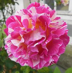 Une rose pour votre WE/ A rose for yr WE!