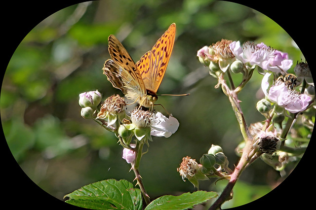 Silver Washed Fritillery   /   July 2019