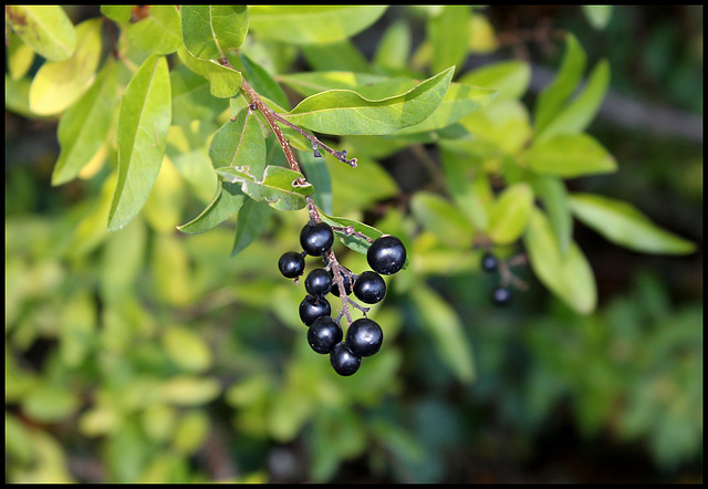 Ligustrum vulgare- Troène (4)