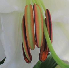 COEUR DE LYS / THE HEART OF A LILY