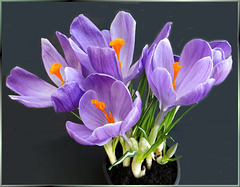 Crocus in full bloom ... ©UdoSm
