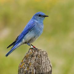 A mountain Bluebird with 'bling'