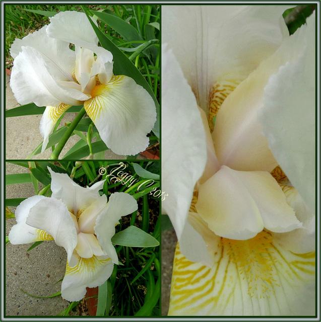 White Iris  beauty - 2015