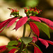 Poinsettia sp, on way to Brasso Seco