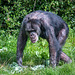 A chimp at Chester Zoo