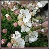 Silene uniflora - Sea Campion