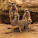 A meerkat group