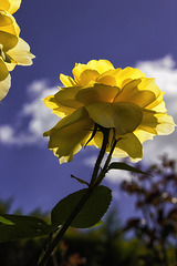 Le temps des roses.