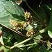 DSCN1958 - caeté-miúdo Ctenanthe marantifolia, Marantaceae