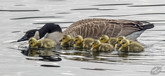 Canada Goose Hen & Goslings at Eel Lake, Tugman State Park (+2 insets)