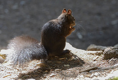 L'écureuil  (voir la note) ...