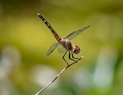 5281310dL Dragonfly
