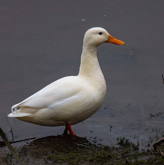 A white duck on the reception pool. Rspb Burton wetlands