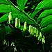 Wald-Salomonssiegel (Polygonatum multifloum)