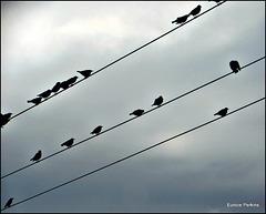 Starling Flock.