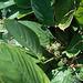 DSCN1960 - caeté-miúdo Ctenanthe marantifolia, Marantaceae