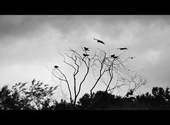 Crows....