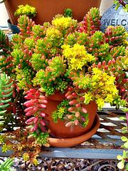 My succulents beauty
