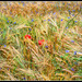 Cornflowers and poppies in the wheat