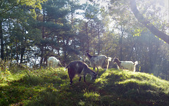 Goats in Backlight...