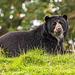 Asian bear3