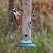 Great spotted woodpecker and a goldfinch