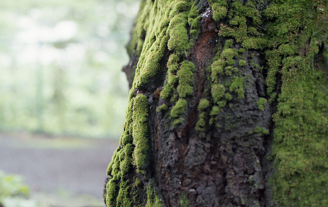 Moss on a cherry trunk