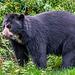 Asian bear5