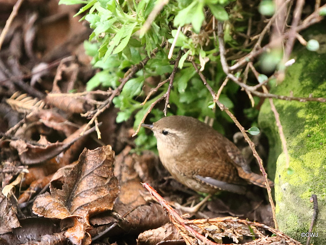 Wren rooting in the flowerbed this morning