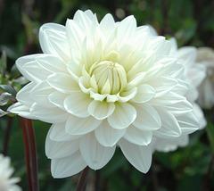 Dahlia blanc