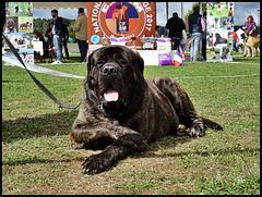 Le Roi Mastiff / The King Mastiff... [ON EXPLORE]