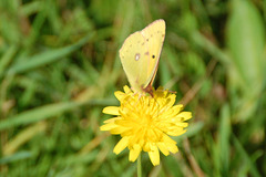 clouded yellow today