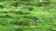 Mykines: puffins
