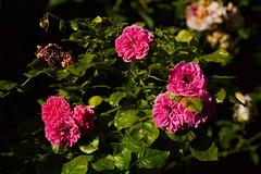 Rose 50 + 31 / Carpe diem