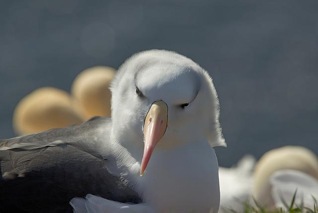 Portrait Albatros (Mollymauk or  Black-browed Albatros)