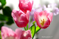 Pink Tulips ~ Early Spring ~