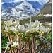 Wild Anemones