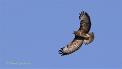 Buse variable - Buteo buteo - Common Buzzard