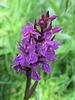 Orchidée sauvage (Dactylorhiza alpestris ?), Le Casset, Monétier-les-Bains (France)