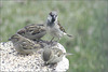 Sparrows on Pedestal