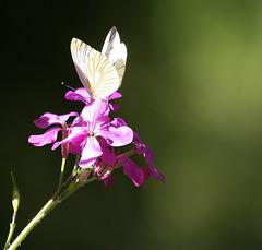 Papillon dans un rayon de soleil du soir