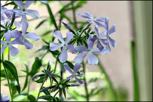 Phlox divaritica (2)
